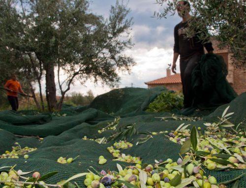 Olivenöl: gesund aber für manche tödlich
