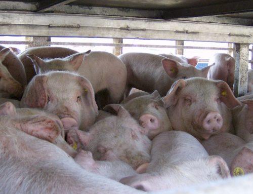 Verbot von Tier-Transporten: Internationaler Awareness Day am 14. Juni 2020