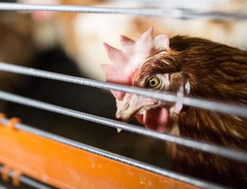 """Wunderbarer Erfolg für die Aktion """"End the Cage Age"""""""